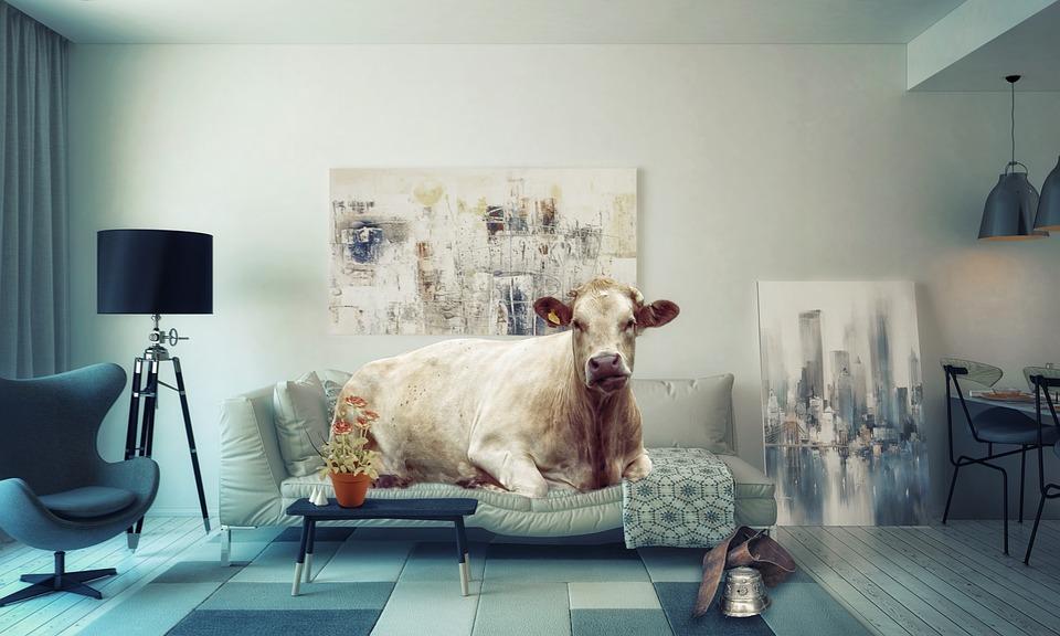krowa w domu